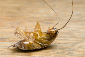 Dead roach, the type you typically find in urban apartments.