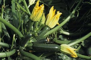 Healthy zucchini plants don't wilt or droop too much.