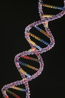 DNA, from which you transcribe mRNA, forms a double helix.