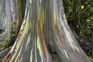 Rainbow eucalyptus grows during summer and is semi-dormant in winter.
