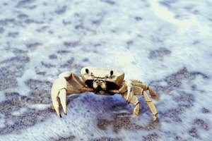 "All ""true"" crabs have a mandible."