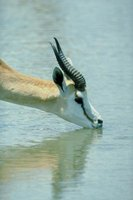 Thomson's gazelle is the most reliant on surface water for survival