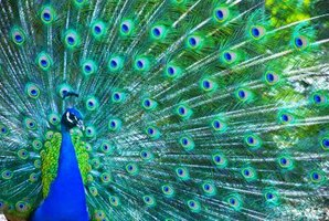 The majestic beauty of the peacock's feathers holds great significance for many cultures.