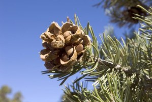 Pinyon pines produce a good nut crop every five to seven years.
