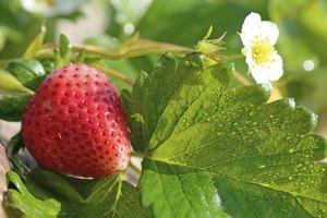 June-bearing strawberries typically flower in May in Michigan.
