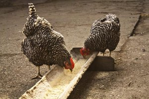 Two chickens eating from a feeding trough.