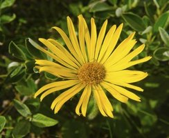 Herbal arnica, which is derived from bright yellow flowers, has an earthy, spicy aroma.