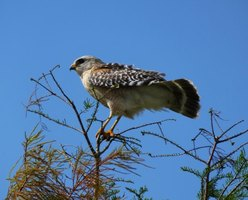 The shrill alarm call of the red-shouldered hawk is distinctive.