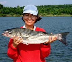Stripers live in the ocean and migrate into tributaries to spawn every spring.