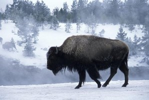 Bison frequently are spotted inside Yellowstone National Park.