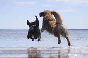 Some dogs take to dock diving with relative ease.
