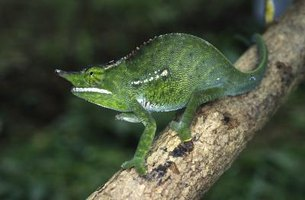 Some lizards, particularly chameleons, are easily stressed by handling.