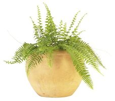 Some potted ferns can survive cold temperatures.