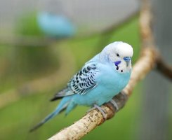 Parakeets enjoy a comfortable perch and toys to hold their attention.