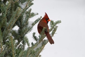 Cardinal sitting in Fraser fir tree