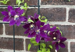 Bring a burst of color to brick with a bright clematis cultivar.