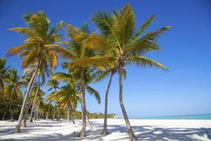 Coconut trees grow in the Carribean.