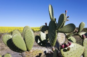 Prickly pear cacti bearing red fruit in the desert.