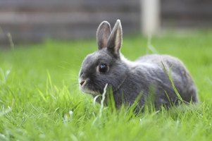 A young rabbit grazes in a yard.
