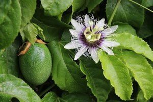 Maypop fruit growing beside flower.