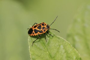 Harlequin bugs are a big problem in the southern U.S.