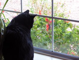 Kitty watching a hummingbird feeding on a flower's nectar