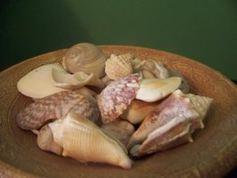 Natural Florida seashells