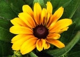 Grow Rudbeckia