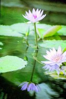 White tropical water lily