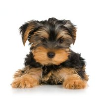 "When Yorkies are small, they generally wear a ""puppy cut"" that is shorter and easier to manage"