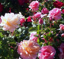 When to Trim Roses in Arizona