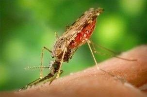 About the Effects of Mosquitoes on Humans