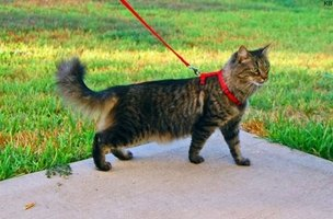 Your cat might not enjoy the leash, and it can be hard to walk them.