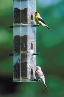 Treat finches to a welcoming environment in your garden.