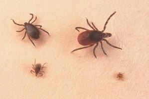 Ticks prefer to attach to the armpit, scalp and groin areas.