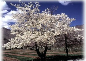 About Cherry Trees