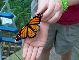 My youngest daughter holds a Monarch that was reared in our waystation.