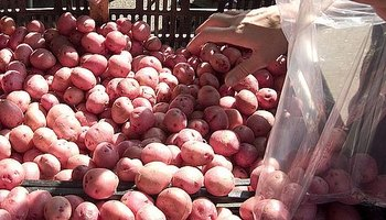 Red potatoes perfect for boiling