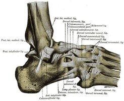 The structure of the foot.