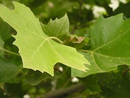 How to identify plant leaves