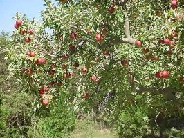 Apples ready to harvest.