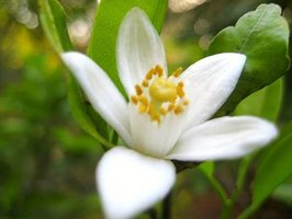Orange blossoms symbolize happiness in Spain.