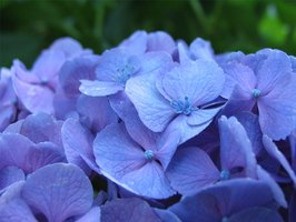 Types of Blue Flowers & Plants