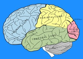 The Different Parts of the Human Brain | eHow