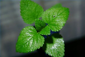 Peppermint & Weight Loss
