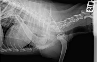 Harmful Effects of X-rays in Dogs