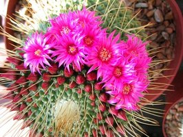 Different Types of Flowering Cactus