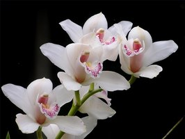 What Do Orchid Flowers Symbolize?