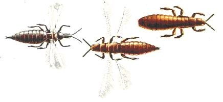 The Life Cycle of Thrips