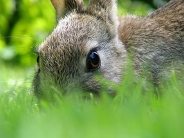 Rabbits are cute but can be dangerous to your garden.